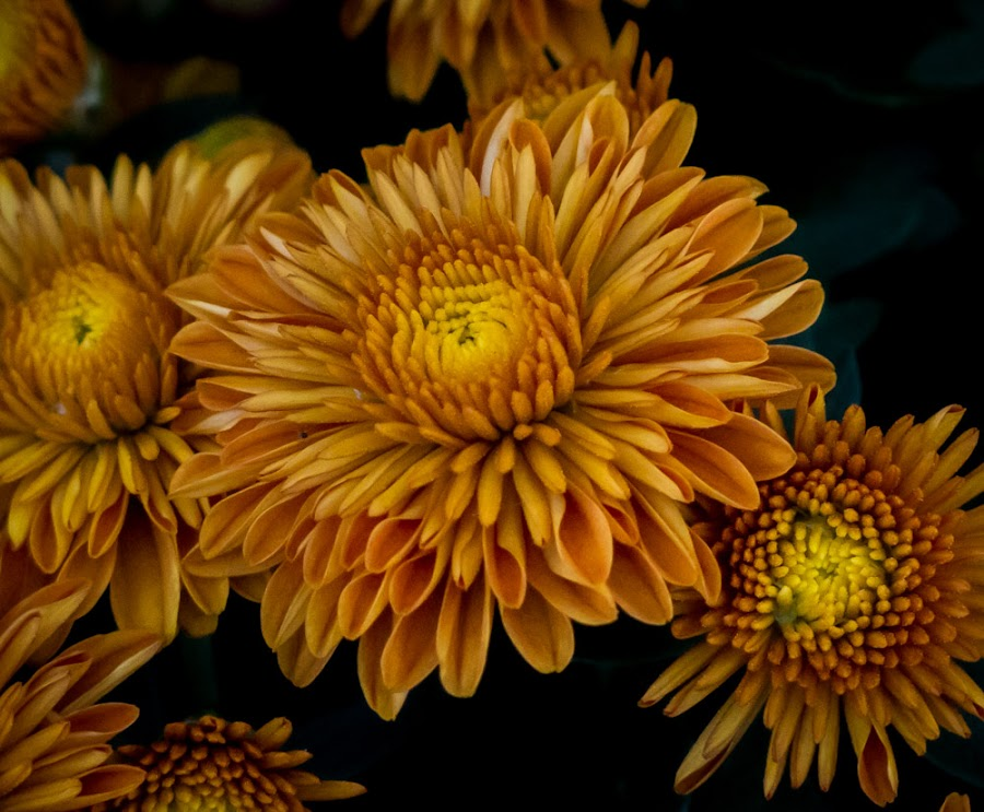 Goldilocks by Shari Brase-Smith - Flowers Flower Gardens ( petals, fall, summer, flower gardens, mums, flowers )