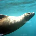 Galápagos sea lions