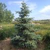 Rocky Mountain Blue Spruce