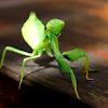 Common Green Mantid