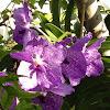 Purple Vanda Hybrid Orchid