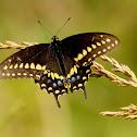 Eastern black swallowtail, male