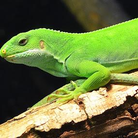 Colorful by Ed Hanson - Animals Reptiles ( lizard, nature, bright, reptile, close-up )