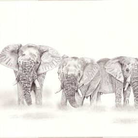 Dust by Paul Murray - Drawing All Drawing ( pencil, nature, elephant, wildlife, drawing )