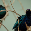 Greater Blue-eared Glossy-starlings