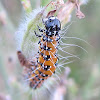 Genista Broom Moth Caterpillars