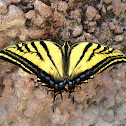 Two-tailed Tiger-Swallowtail