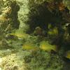 Spotted-gill Cardinalfish