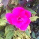 Pink home run rose