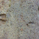 White-tailed Deer track