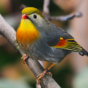 Pekin nightingale by Nizam Akanjee - Animals Birds ( pekin robin, pekin nightingale,  )