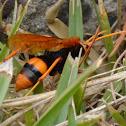 Orange Spider Wasp I