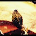 Indian Cobra or Spectacled Cobra