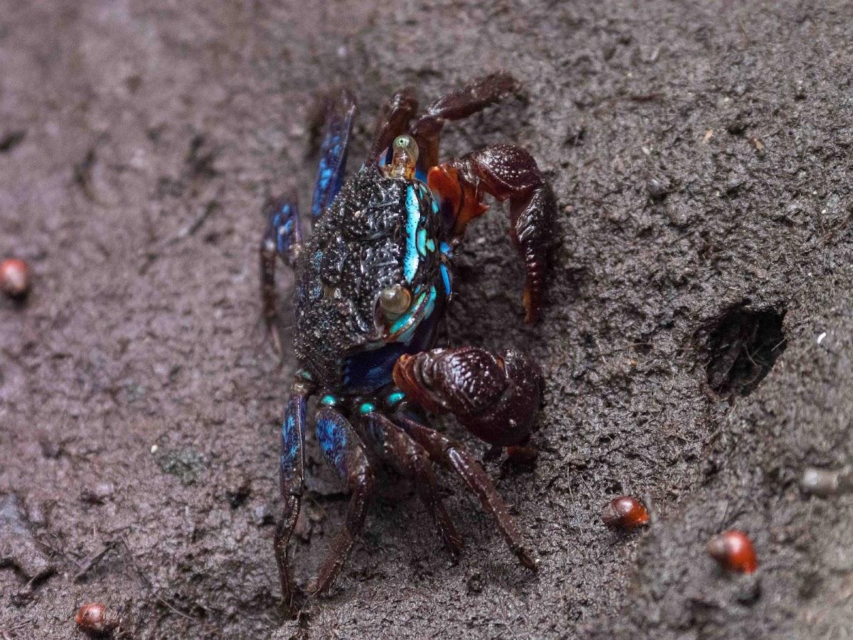 Merder's Mangrove Crab