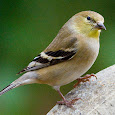 Birds of the Northwestern Coast