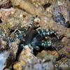 Condylactis anemone