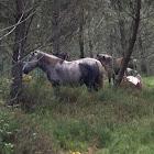 Cabalo(gal)Caballo(es)Horse(en)