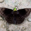 Green-headed Sootywing