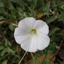 Correhuela / Field Bindweed