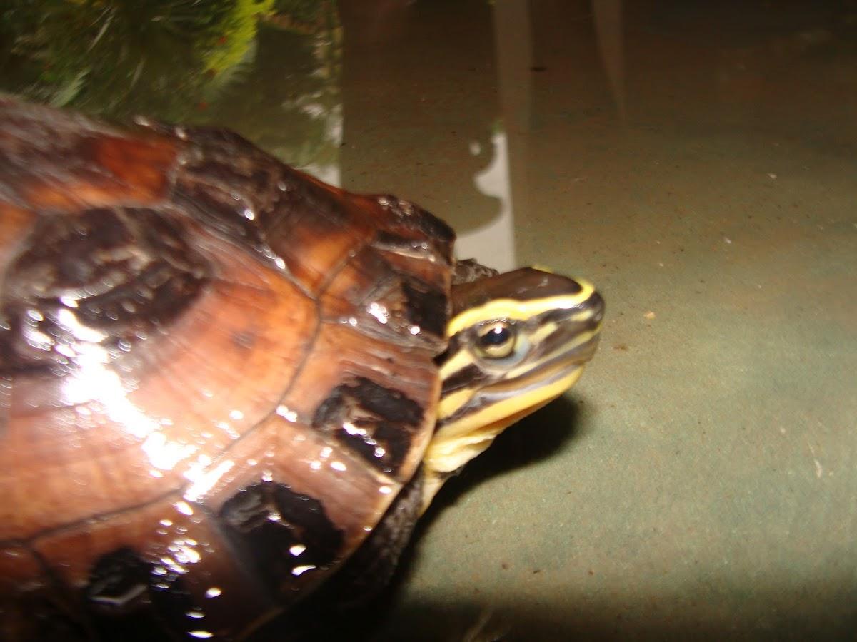 Malayan Box Turtle  Cuora amboinensis