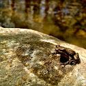 Midland Chorus Frog
