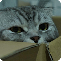 Scottish Fold Cat Wallpaper icon