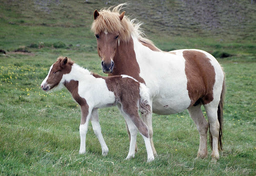 Gotta love Icelandic horses. I need to meet their stylist.