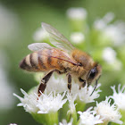Honeybee,  wild population?