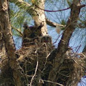 Great horned owl chick!