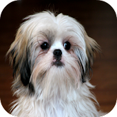 The Talking Shih Tzu Dog Games