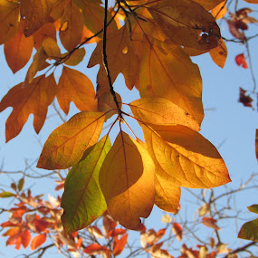 A Bough Of Gold by Anne Santostefano - Nature Up Close Leaves & Grasses ( orange, fall, trees, autmn, gold, leaves,  )