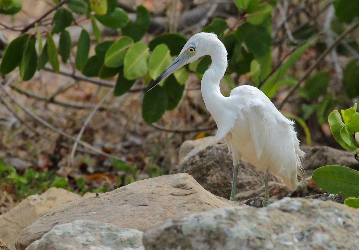 Little Blue Heron (Juvenile)