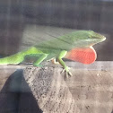 Green Anole (male)