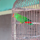 "Philippine Hanging Parrot ""kulasisi"""