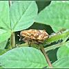 Lixus Snout Beetles (Mating)