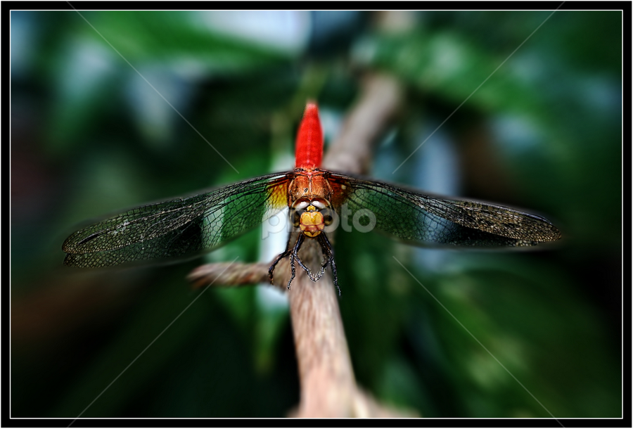 Ready For Take-Off by Richard Ho - Animals Other ( park, branch, dragonfly challenge,  )