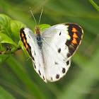 Plain Orange-tip (female)