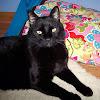 Cat : Midnight