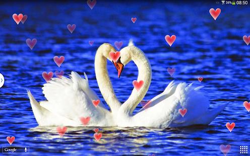 戀愛的天鵝動態壁紙