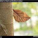 Orange Oakleaf or Dead Leaf