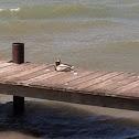 Mallards (male and female)