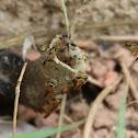 Stingless Bee - Jataí