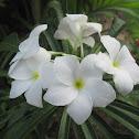 Bridal bouquet, Wild Plumeria