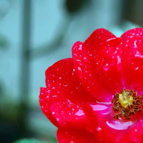 Rose Dew by Brandon Ferreira - Flowers Single Flower ( red, red flower, dew, roses, red rose, dew drops, rain )