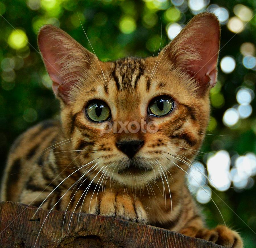 by Neni Wijaya - Animals - Cats Portraits ( bekasi, cat, ciketing, garden, animal, #GARYFONGPETS, #SHOWUSYOURPETS )