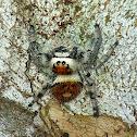 Regal Jumping Spider Orange Phase
