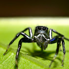 Banded Phintella Jumping spider (Male)