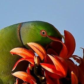 Rose-ringed Parakeet....(Tia) by Jayanto Dey - Animals Birds