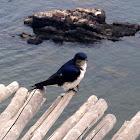 Petrel azulado. Blue Petrel