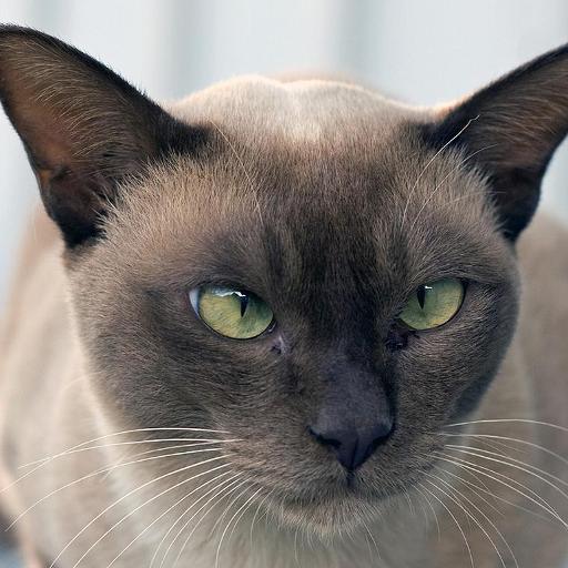 ビルマ猫の壁紙 個人化 App LOGO-硬是要APP